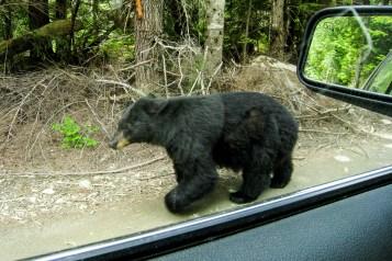 Whistler-bear-Canada