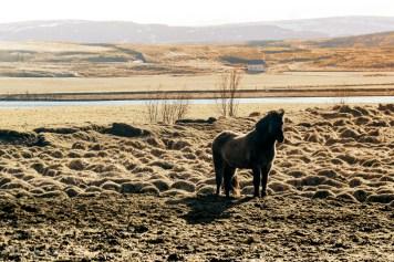 Island - Islandshäst