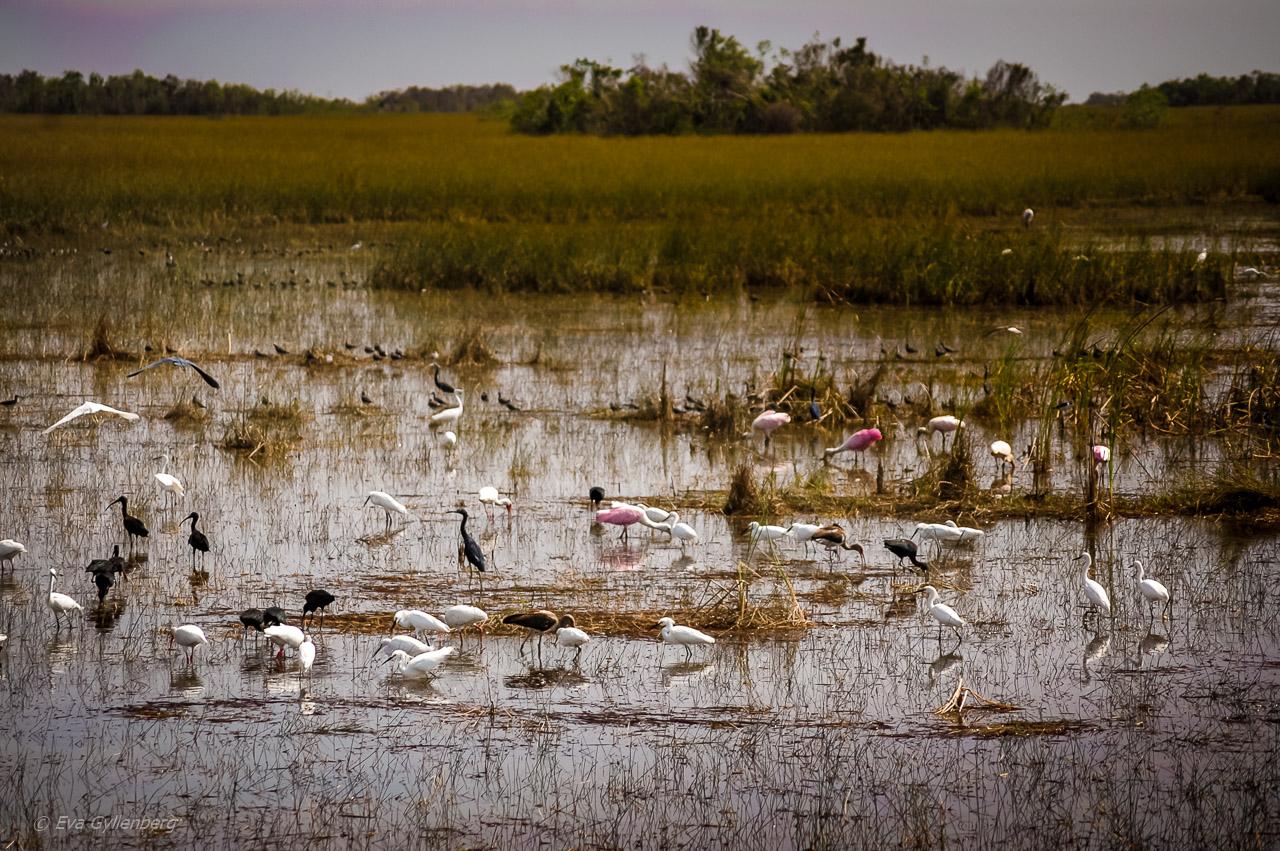 Everglades fåglar