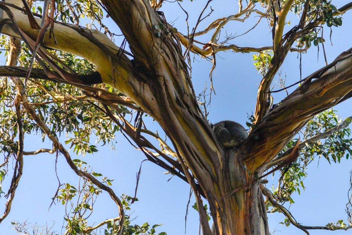 Kennett River - Koala