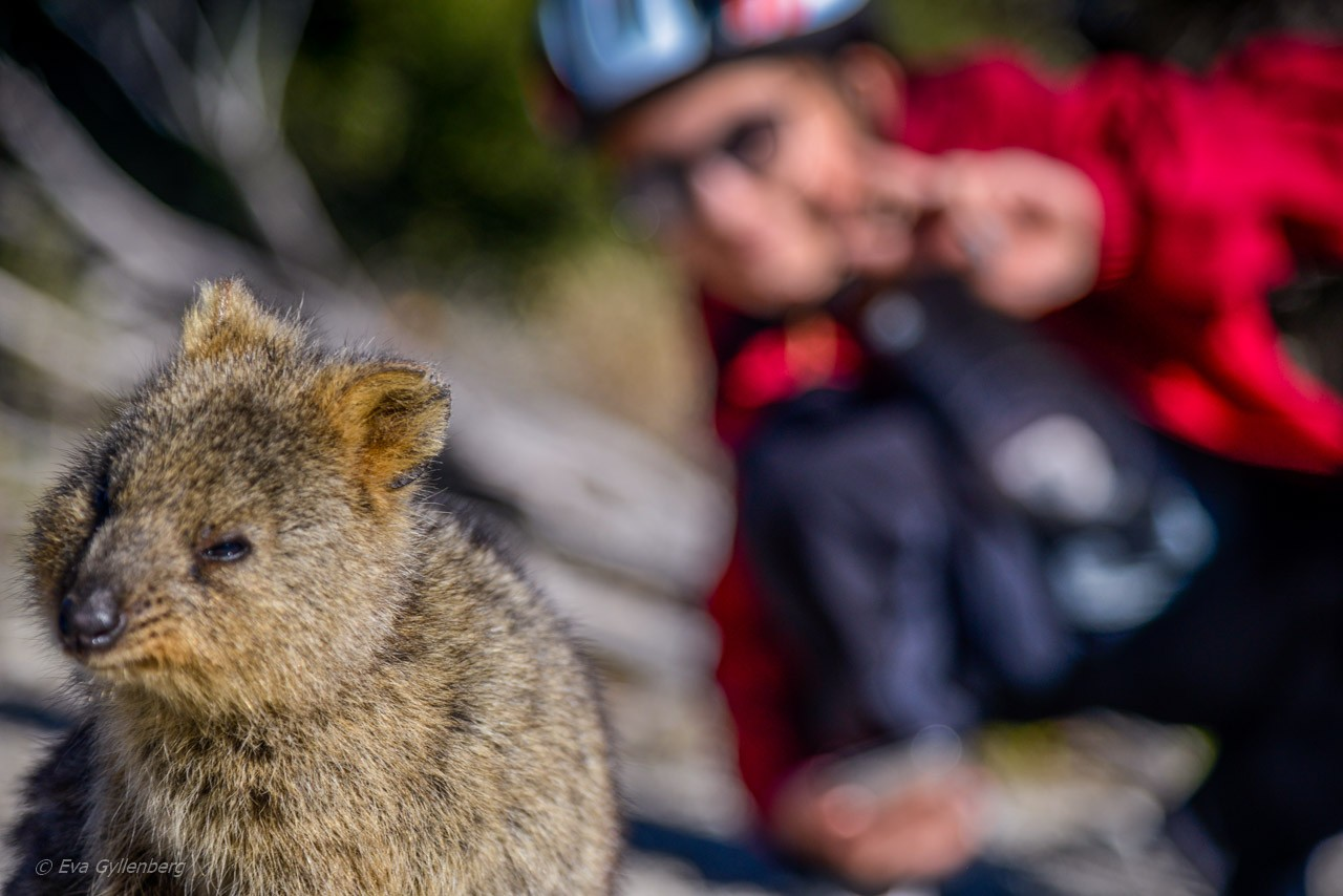 Rottnest Island - Australien - Quokka