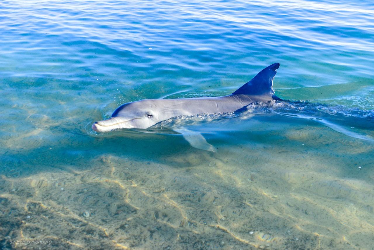 Flasknosdelfin i Shark Bay
