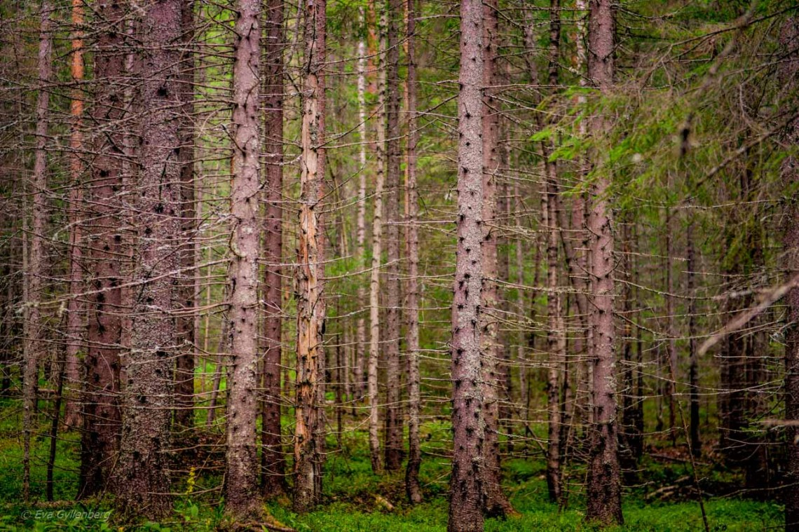 Dense conifers in Skuleskogen National Park