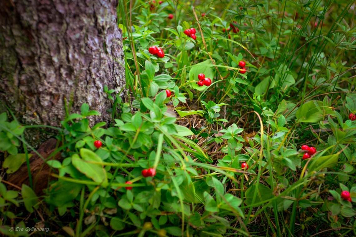 Crowberries in Skuleskogen