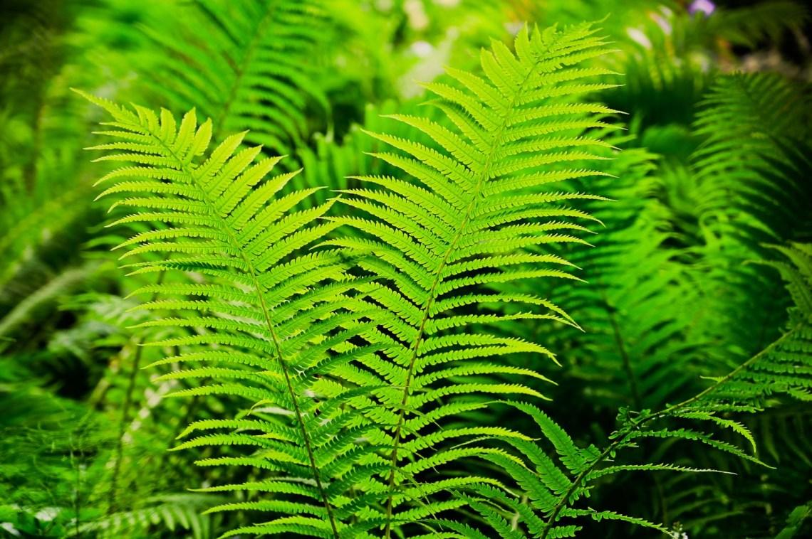 Green ferns in the Japanese garden