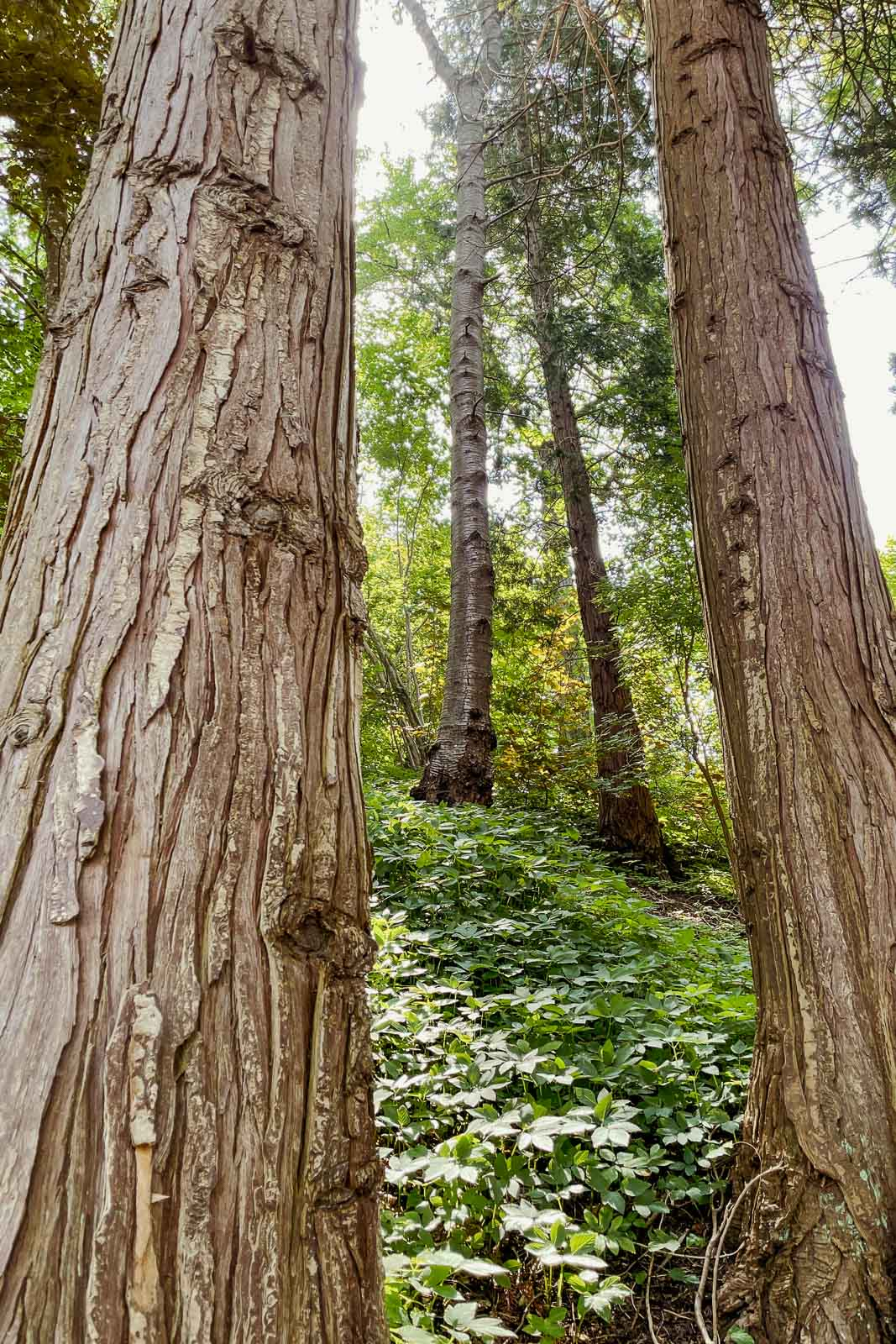 Cypress tree trunks in the Japanese garden