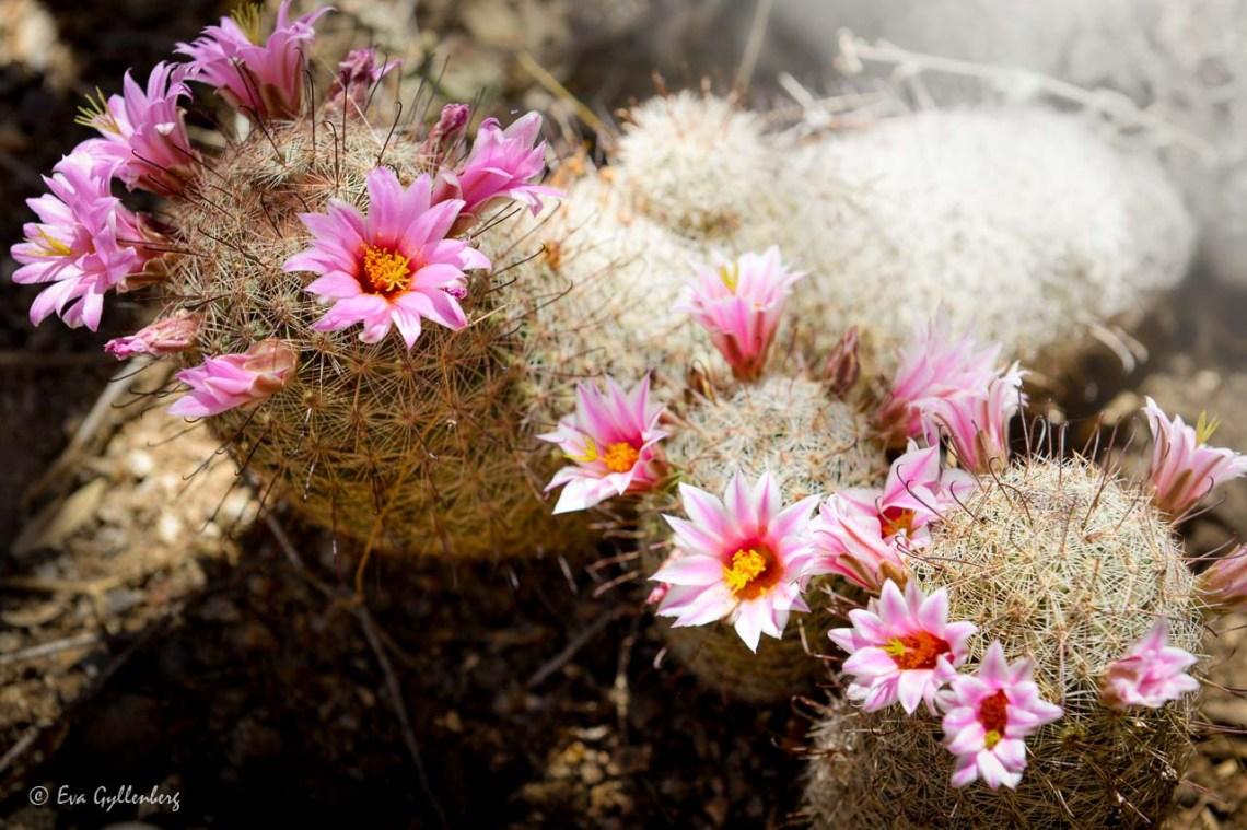 It blooms in the desert