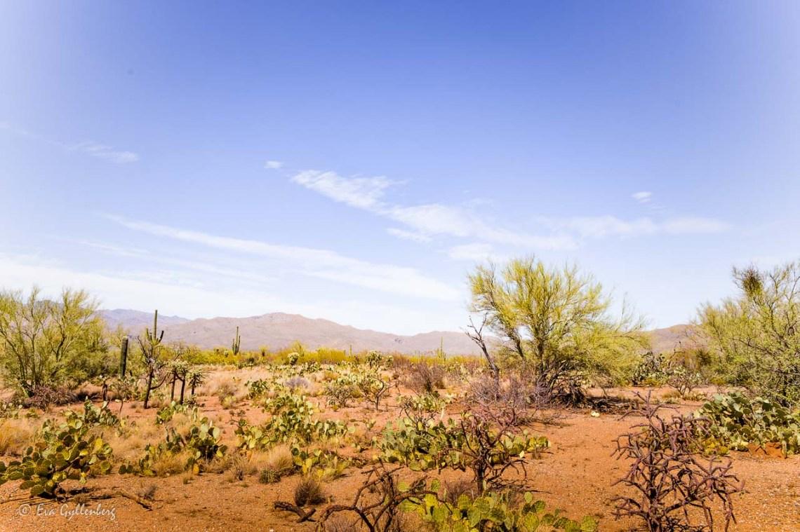 Desert landscape in Saguaro