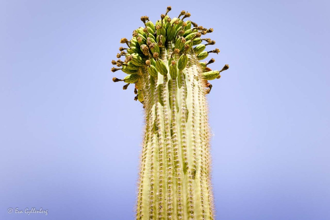 Cactus blooming at the top