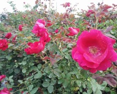 Roses – Brings Benefits To Beauty and Health