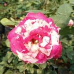 Pink-white striped  roses