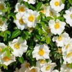 cherokee-rose-white