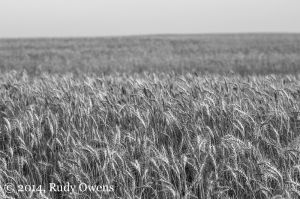 Wheat Growing in Lincoln County, August 2014
