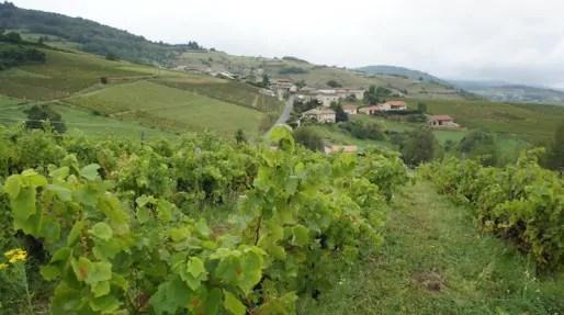 Dans les vignes de Bruno et Isabelle Perraud (Côtes de la Molière), dans le Beaujolais. Crédit : DD/Rue89Lyon.