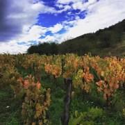Photo des vignes des Côtes de la Molière, dans le Beaujolais. Par Isabelle Perraud.