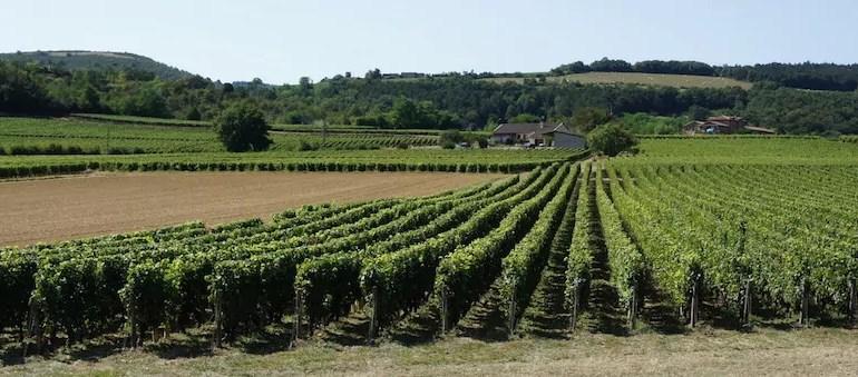 Vin, pesticides et riverains: le Mâconnais s'en sortira-t-il?