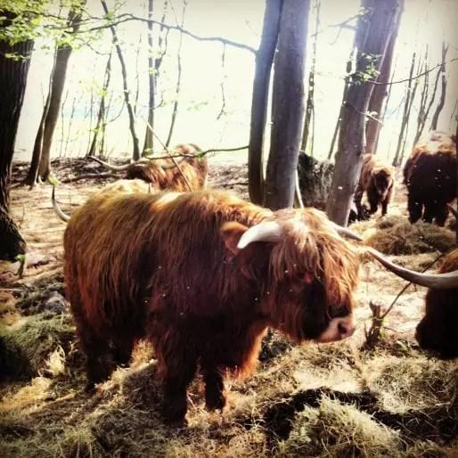Vaches highland catles à la Robertsau. Là, un jeune agriculteur s'installera bientôt (Photo MM / Rue89 Strasbourg)