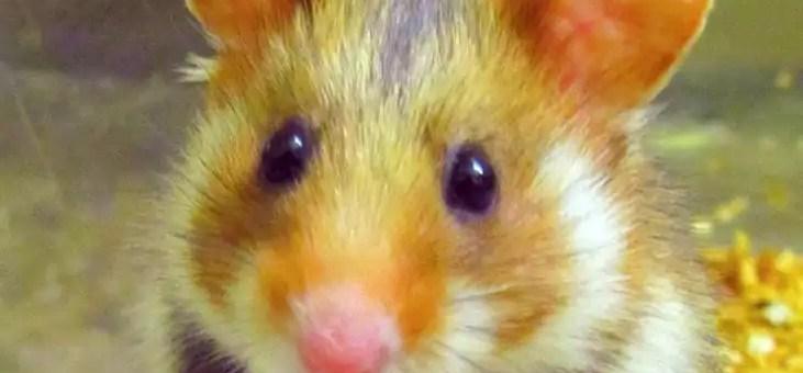 L'Europe et la Région d'accord pour protéger le Grand hamster