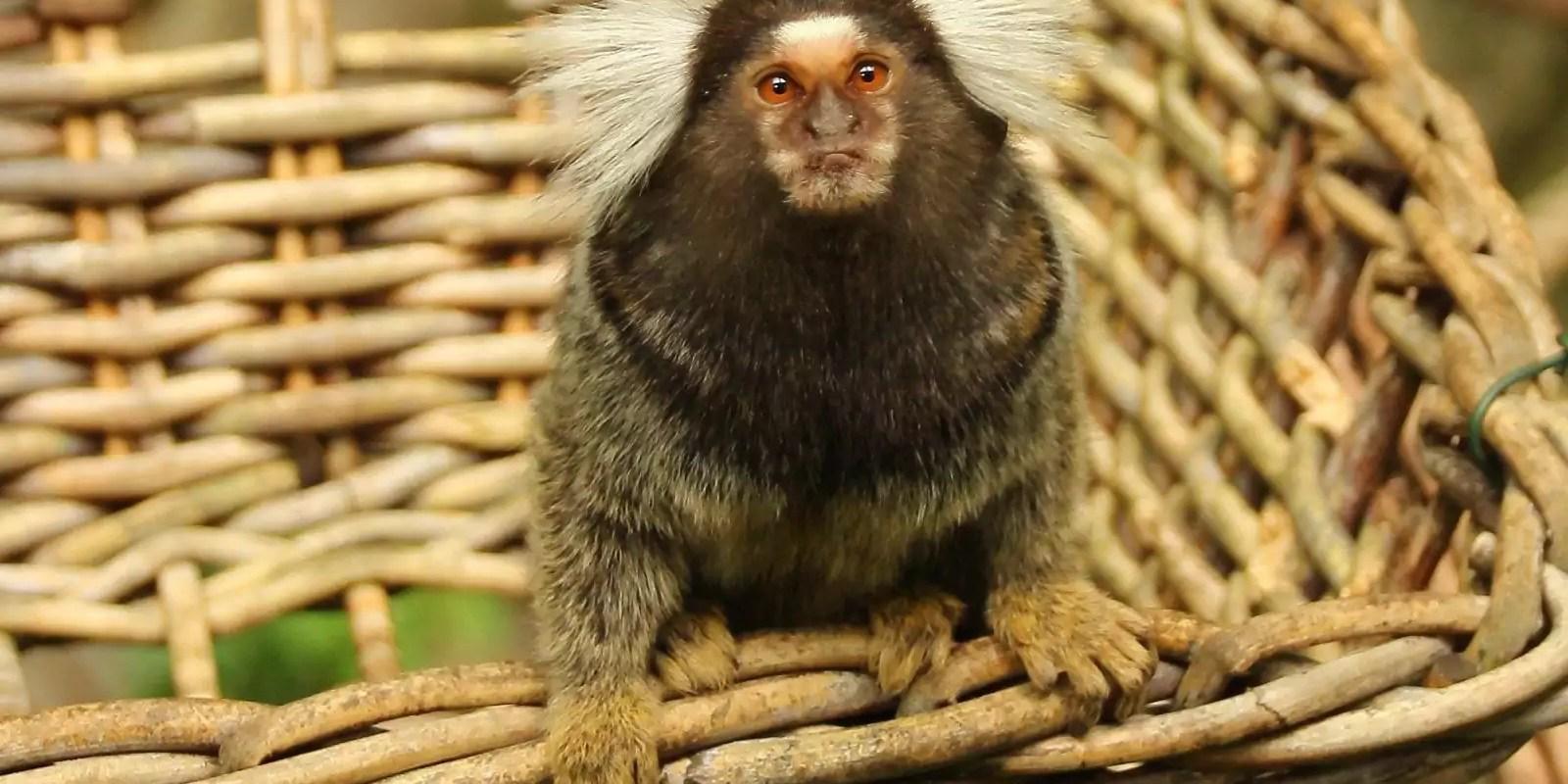 Le commerce de singes de l'université de Strasbourg dans le viseur de la justice