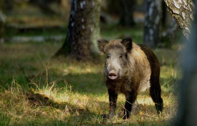 Les sangliers ne peuvent plus être chassés dans la forêt du Neuhof depuis 2013 (Photo Philippe Rouzet / FlickR / cc)