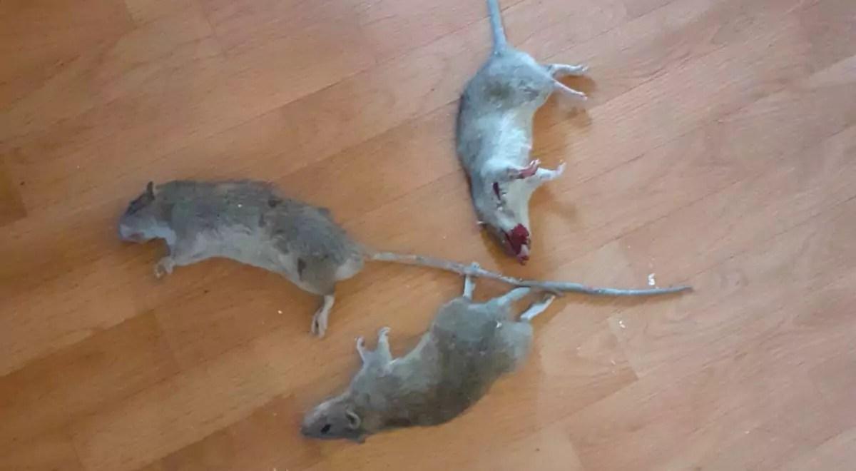 Au 47 rue principale de Schiltigheim, les rats se promènent sous les combles depuis cinq mois