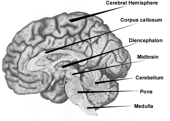 brain diagram pons network crossover cable wiring untitled