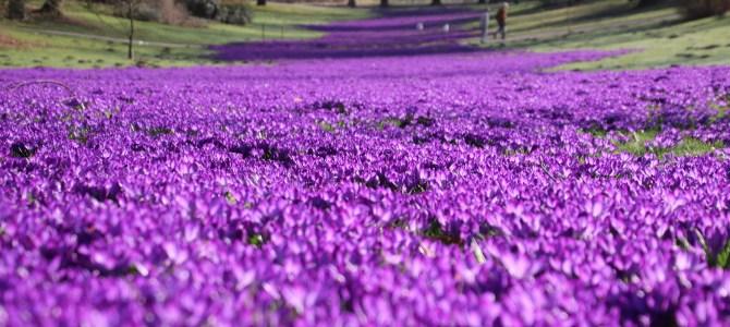 Blütenpracht – Die Lila-Laune Armee des Frühlings ist im Dortmunder Romberpark eingezogen