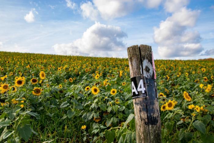 Blick auf das Sonnenblumenfeld