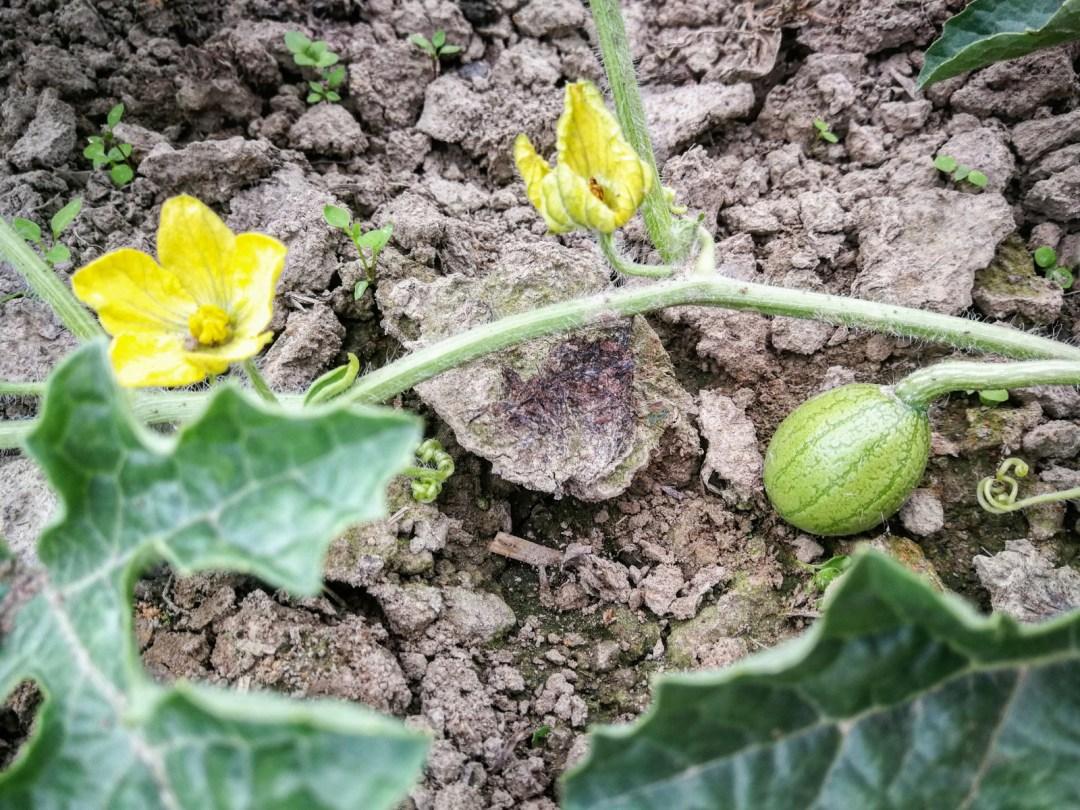 Wassermelone Gemüsegarten Bochum