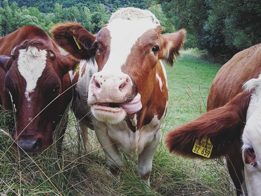 Kühe in Marsberg im Sauerland