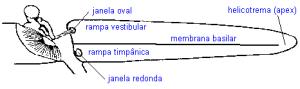 A audição a membrana basilar