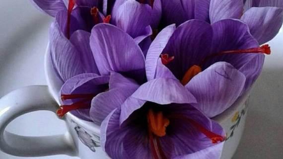Saffron Untuk Diet, Membantu Menurunkan Berat Badan