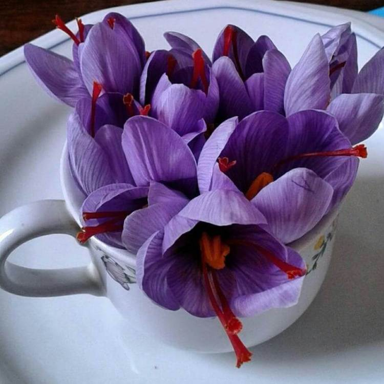manfaat saffron untuk diet, jual bunga saffron murah, rumah saffron
