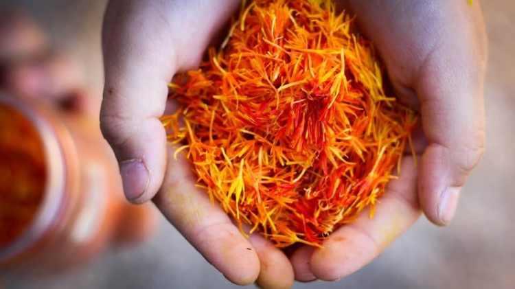 panen bunga saffron, manfaat bunga saffron untuk kesehatan, rumah saffron