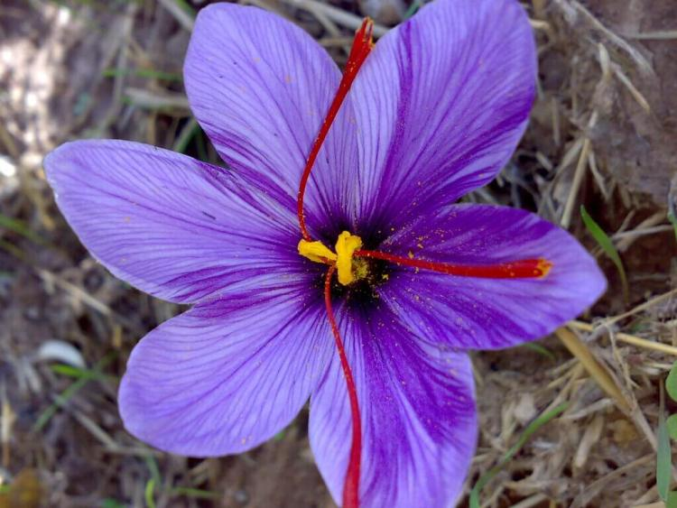 ragam manfaat saffron untuk ibu hamil, rumah saffron