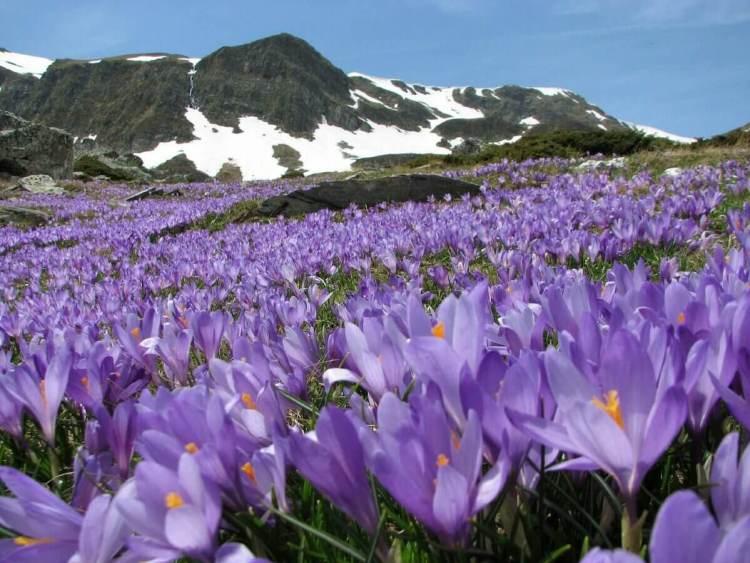 pampore lembah saffron kashmir, saffron terbaik di dunia, rumah saffron