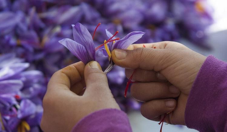 panen saffron kashmir, saffron terbaik di dunia, rumah saffron