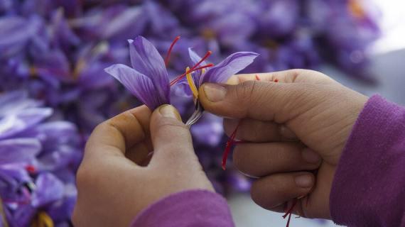 Mengenal Saffron Kashmir dan Cirinya, Saffron Kualitas Terbaik di Dunia