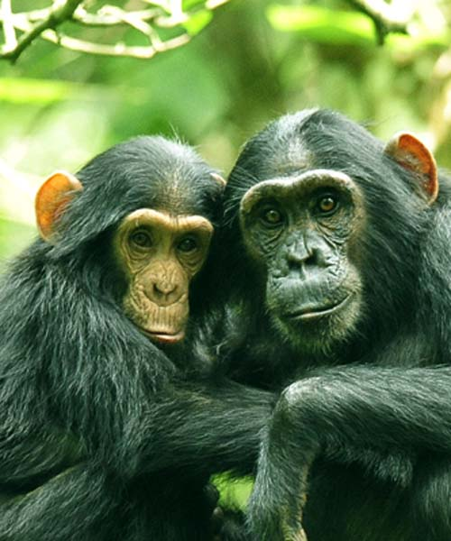 chimpanzee-safari-in-uganda