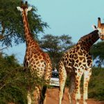 two giraffes on a road in a Uganda national park