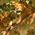 Tree climbing lions at Queen Elizabeth n.p