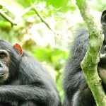 chimpanzee tracking at Kibale forest