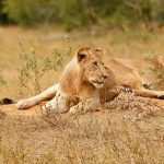 lions at kidepo valley national park