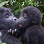 Uganda gorillas mother and child kissing at bwindi park