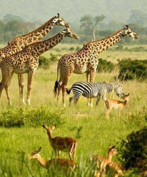 wildlife in Uganda Murchison falls