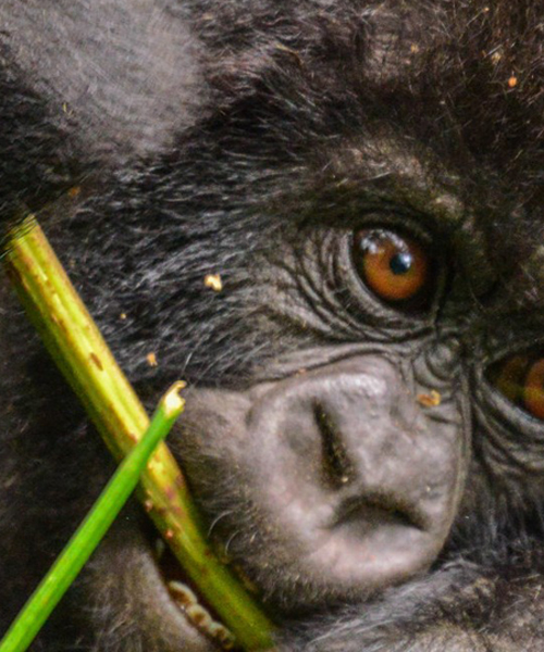gorilla permit at bwindi impenetrable