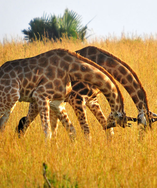 Kidepo national park giraffes