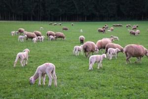 Koyun Yemleri