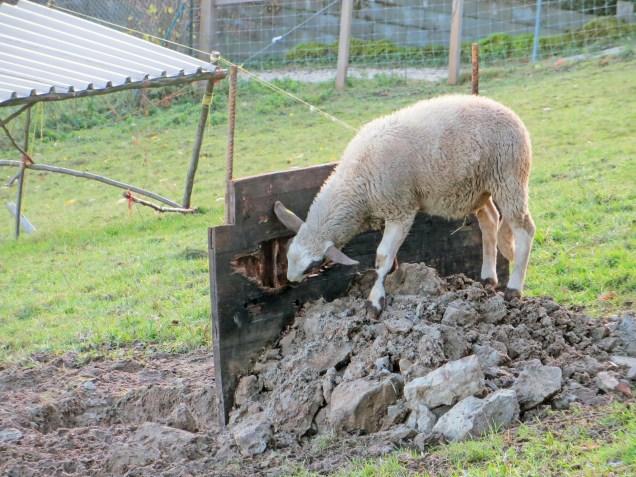 ... fanden die Schafe leider zu fein.