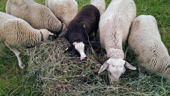 ... sondern auch den Schafen Spass